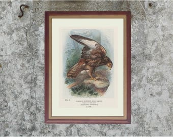 Common Buzzard, Bird's Nest and Eggs, Antique Bird Print (58) Frameable, Art, 1910, George Rankin Artist, Landsborough Thomson