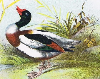 """1896 Antique BIRD Chromolithograph with 8""""x10"""" mat, 'Common Shield Duck', Adorable, Great Gift, Fathers Day, Office Decor, Grandfather"""