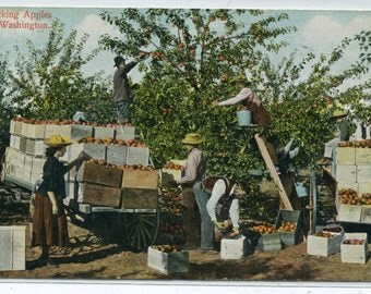 Apple Picking Orchard Farming Washington 1910c postcard