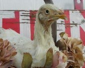 ONS ALE - Taxidermy California White Young Pullet Chicken Chick in a Basket. Sierra.