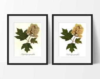 Oak Leaf Hydrangea Pressed Botanical Print - Pressed Flower Art Print - Herbarium Botanical Wall Art Decor - Botanical Art