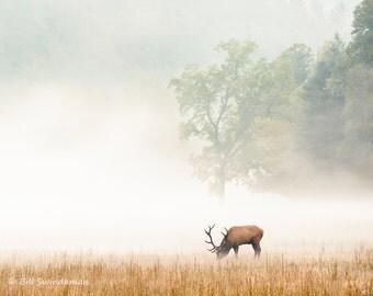 Smoky Mountain Cataloochee Elk in Fog