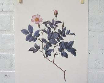 Redoutes Roses Book Page Plate Botanical Wall Art Pink Rosa Farinosa Rose
