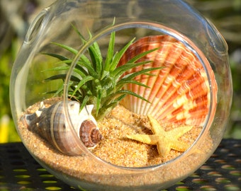Beach Terrarium Kit ~ Small Glass Hanging Terrarium with Air Plant ~ Tan Starfish ~ Melongena Shell ~ Gift Idea ~ For Him ~ For Her