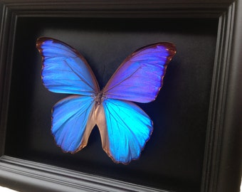 Blue Morpho Butterfly Taxidermy- Butterfly Art, Butterfly Decor, Framed Butterfly, Butterflies, Taxidermy Art, Insect Art, Curio, Entomology