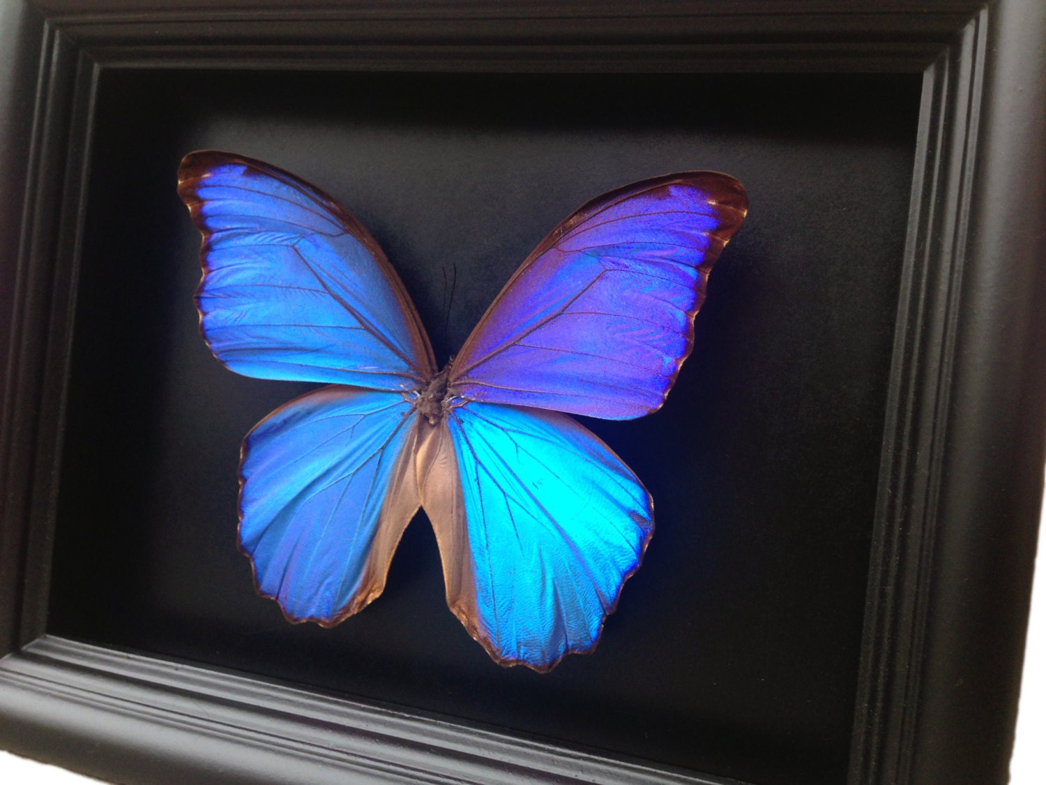 blue morpho butterfly taxidermy butterfly art butterfly decor framed butterfly butterflies taxidermy art insect art curio entomology
