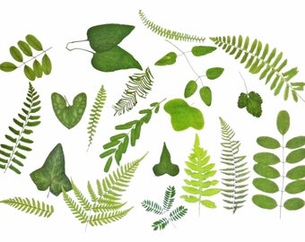Green Leaves, Quantity of 50, Pressed leaves , Dried leaves, Assorted greens,  Pressed woodland green leaves, variety of shapes
