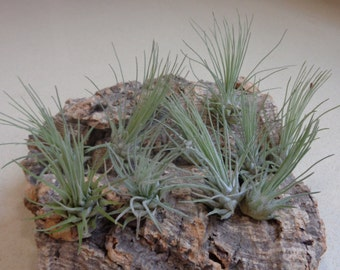 10 Pack Mini Tillandsia Fuchsii v Gracilis