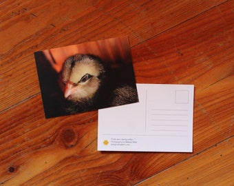 Chick - Post Card - Fluffy Baby Chicken