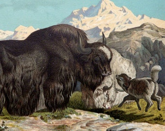 1890 Antique print of a WILD YAK. Himalayan animals. Zoology. Natural History. 127 years old lithograph