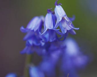Bluebell Flower, Floral Photography, 8x10 color print
