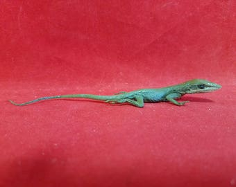 Taxidermy Lizard Anolis Carolinensis#1-Anole Reptile--frog-bat-ant-rat-mouse