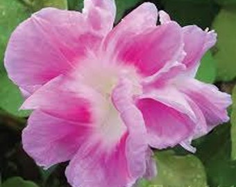 AIP) SPLIT SECOND Morning Glory~Seeds!~~~~Wonderful Pink Double!!!