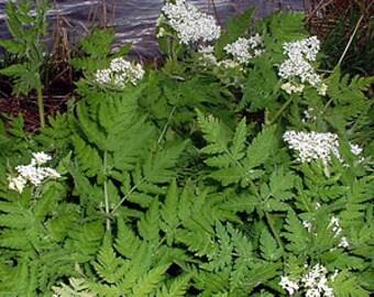 H) SWEET CICELY~Seeds!~~~~~~Perennial Herb!