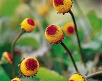 HSP) TOOTHACHE PLANT~Seeds!!!!~~~~~Spilanthes achmella~~~~~'Eye-Ball' Herb!