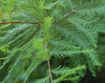 "2 Bald Cypress Trees(Taxodium Distichum)  4"" Conainers SPRING SALE!!"