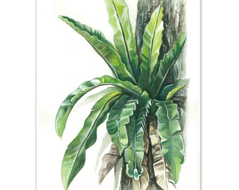 Australian Crows Nest Fern Watercolour painting - Limited edition print (100 only)