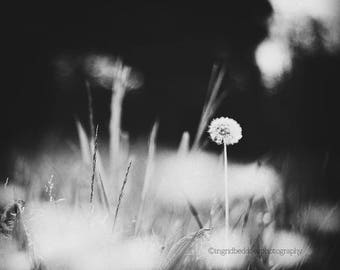Dandelion print, dandelion wall art, dandelion art, dandelion photography, black and white fine art print, nature wall decor, home decor