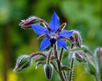 Borage organic hairloom  herb seeds 1.50gr 95-110 seeds