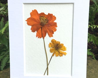 FREE SHIP  Real Pressed Flower Art Herbarium Botanical of Orange Cosmos 5x7