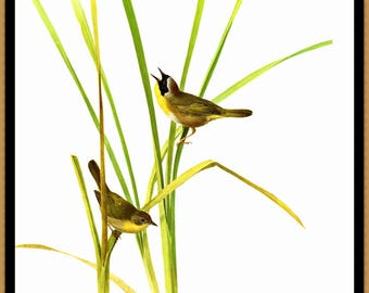 """Yellowthroat painted by J F Landsdowne for the book Birds of the Eastern Forest 2. The page is approx. 9 1/2"""" wide and 13"""" tall."""