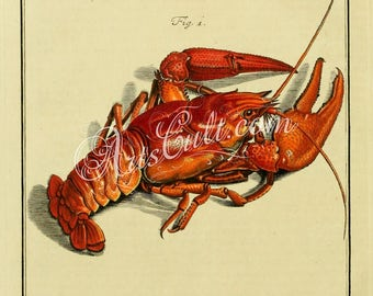 insects-02900 - Astacus fluviatilis (Astacus astacus) Red European crayfish, noble crayfish, broad-fingered crayfish vintage printable image