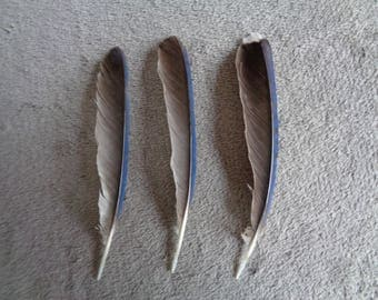 Real Blue Jay Feather