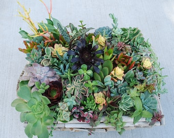 200+ Exotic Rare Succulent Cuttings with over 40 Varieties Perfect for Wedding/Party Favors, Centerpieces, Wreaths...