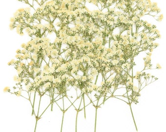 Pressed flowers, white baby breath gypsophila 20pcs for floral art, craft, card making, scrapbooking, home decoration