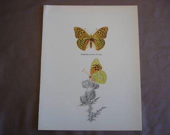 Butterfly Art Print: The Silverstripe