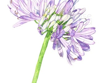 Agapanthus watercolour painting print, A3 size, A17217, Agapanthus print. Agapanthus watercolor print, Botanical wall art