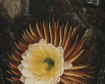The Night-Blooming Cereus Print, Botanical Art, Botanical Poster, Vintage Cactus Flower, Floral Wall Art, Garden Art Illustration