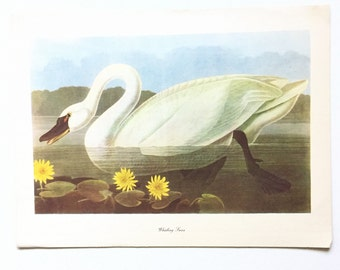 "Vintage John James Audubon Bird Print / Whistling Swan / Natural Science Home Decor / Art Illustration / Great for Framing / 9"" x 12"" Art"