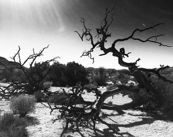 Joshua Tree Photo - Digital Photography, Fine Art Photography, Black and White Photography, Landscape Photography, Desert Photography, Trees