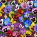 Pansy Fabric, Elizabeths Studio ELS 475 Mul, Lovely Pansies Collection, Floral Quilt Fabric, Flower Fabric, Cotton