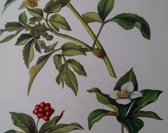 Golden Alexanders and bunchberry, antique botanical litho print, 1954