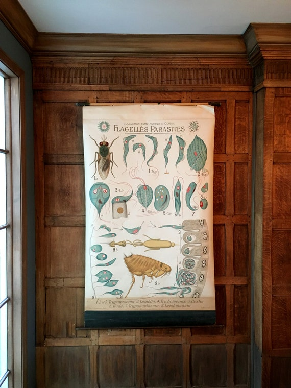 Antique Pull Down Chart, Flagelles Parasites, Remy Perrier & Cepede, Scientific Illustration, Entomology School Chart
