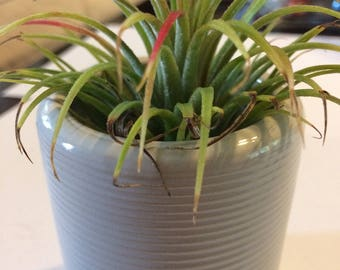 ON SALE - Large Blushing Air Plant with Red Tips in Ceramic Pot - Fast Shipping