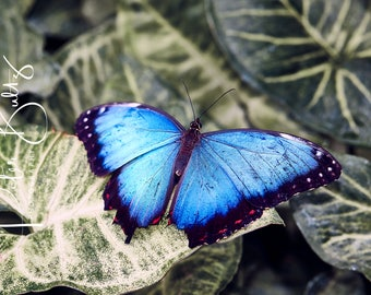 Blue Morpho Butterfly A4 Mounted Print