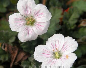Erodium reichardii, White, Heron's Bill for Miniature Garden, Fairy Garden