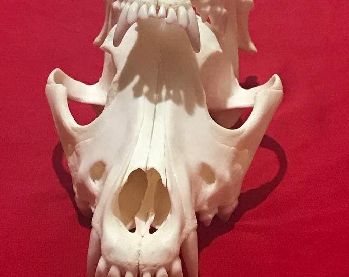 Real animal skull