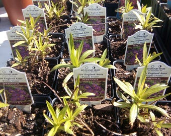 5 Purple Dome New England Aster plants. Chemical free.