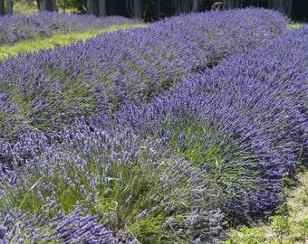 Lavender Field 7 - Sequim WA
