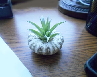 Air Plant Seashell Gift Set - Live Tillandsia in a Gator Sea Urchin Dorm Office
