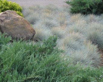 Blue Fescue (1100 thru 4 oz seeds) Ornamental grass Festuca ovina glauca #327