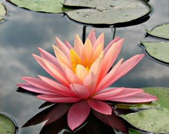 Waterlily // Ut Gardens