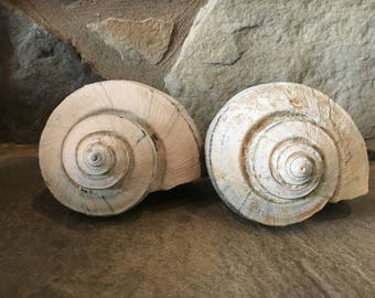 Whelk Conch Shell, Large Seashell, Sea Shell Decor, Beach Nautical Cottage Decor