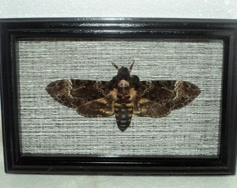 Real moth framed DEATH'S HEAD Moth in the movie silence of the lambs!