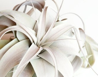 SALE 20% OFF! Tillandsia Xerographica Air Plant