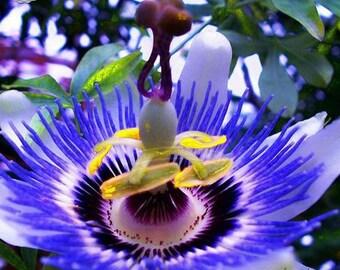 Pack of  100  fresh  seeds   Hardy Fragrant Passion  Flower Osaka garden